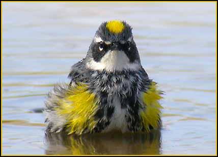 yellow_rumped_warbler_bath.jpg