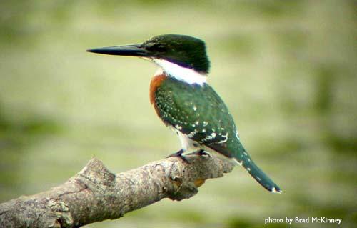 green_kingfisher.jpg