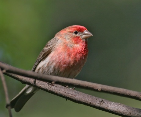 housefinch24.jpg