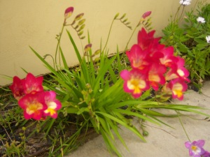 Fuzzy Freesias.