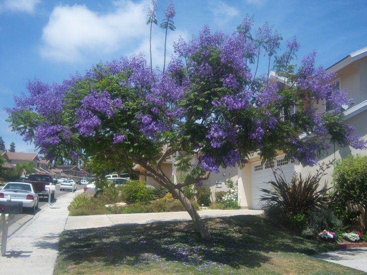 Jacaranda tree next door