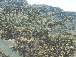 Barnacles on surf side of Flat Rock